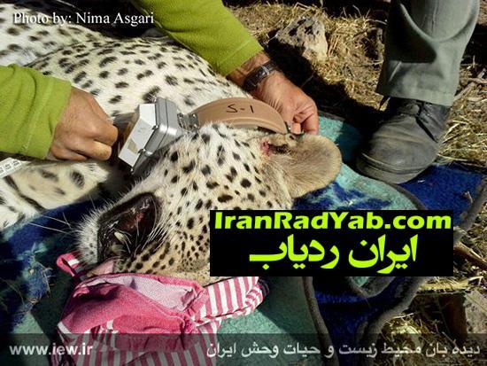 نصب ردیاب ماهواره ای بر گردن چهارمین پلنگ ایرانی