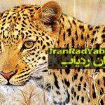 نصب ردیاب روی دو پلنگ ایرانی